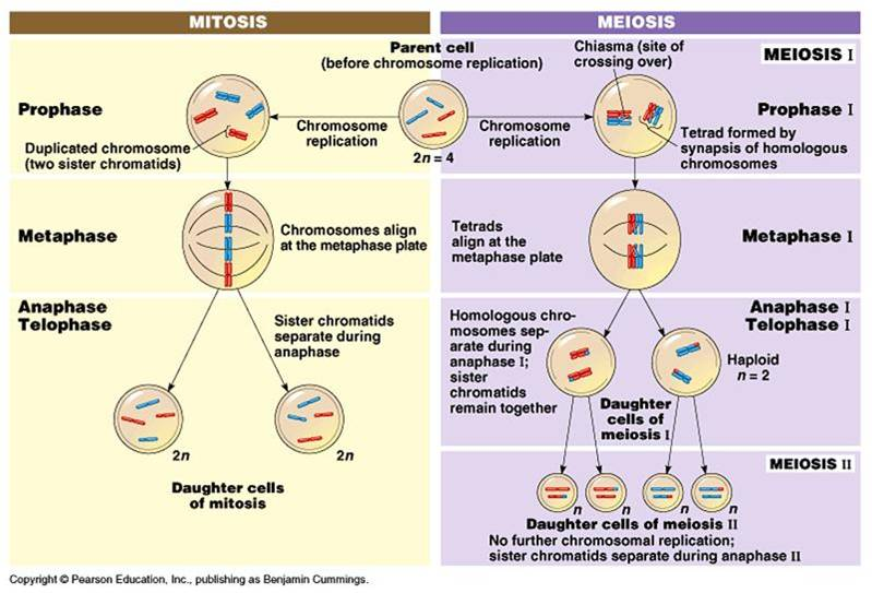 Mitosis Vs Meiosis Video - Website of qobusaba!
